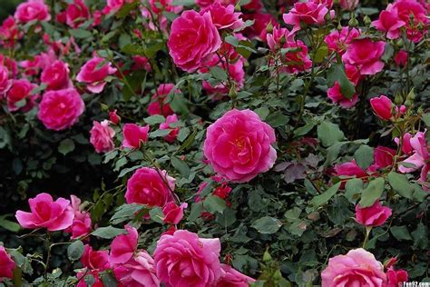 wallpaper flower garden rose hoontoidly rose flower garden wallpaper images