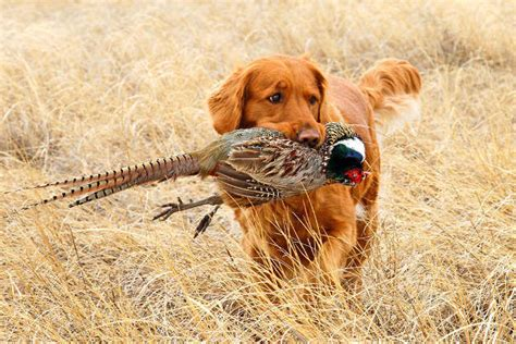 labrador or golden retriever best family dogs the best dogs in the world outdoor warrior