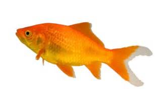 are several kinds of goldfish, and each breed would have some needs