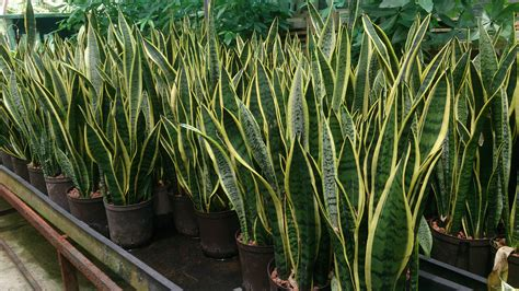 Modern Houseplants by File Snake Plant Sansevieria Trifasciata Laurentii 1