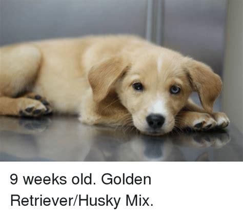 9 week golden retriever golden retriever memes of 2016 on sizzle dank