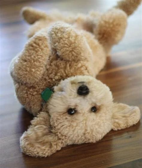 breed that looks like a teddy dogs that look like teddy bears gnewsinfo