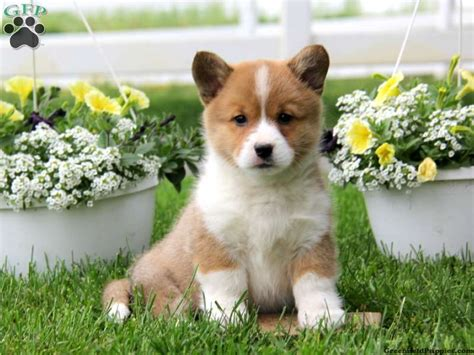 corgi puppies for sale pa pembroke corgi puppies for sale in pa