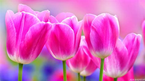 Bunga Violces Pink tulip flower wallpaper for desktop