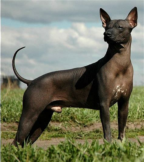 xolo puppies xoloitzcuintli standard breeders with puppies dogs for sale
