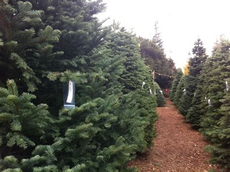 guide where to buy a christmas tree in redwood city