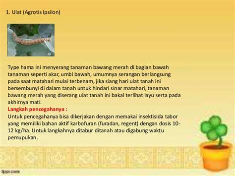 Furadan Bawang Merah tips jitu mengatasi hama dan penyakit pada tanaman bawang