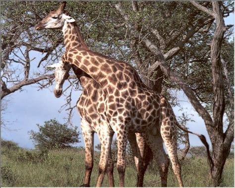 imagenes de jirafas y osos los animales animales salvajes