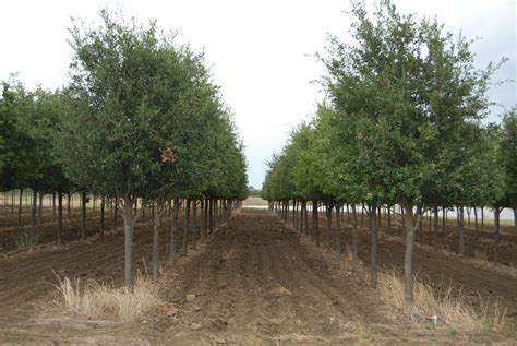 top tree farms in seattle area two creeks live oak row fannin tree farm