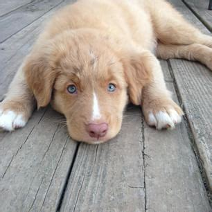 duck tolling retriever puppy duck trolling retriever puppy manteresting