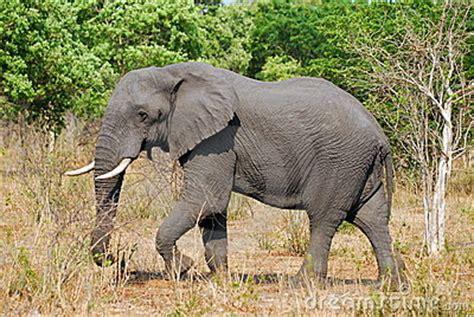 Tete Elephant Profil by Profil D 233 L 233 Phant
