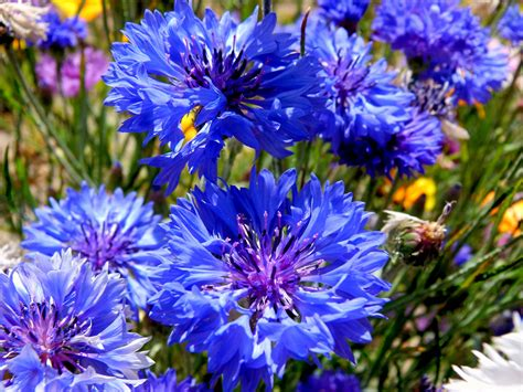 cornflower blue cornflower blue fables and flora
