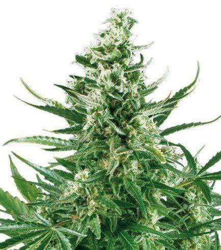 banche semi cannabis critical autofiorente zativo seeds zativo