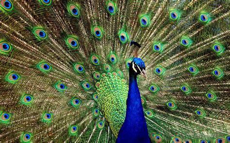 beautiful peacock wallpaper house