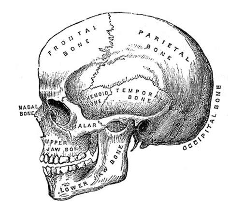 printable medical images vintage halloween clip art anatomy skull printable