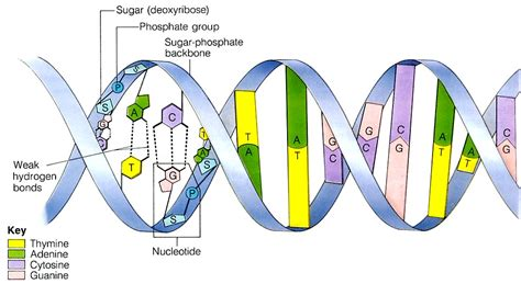 dna diagram dna rna and chromosomes musings