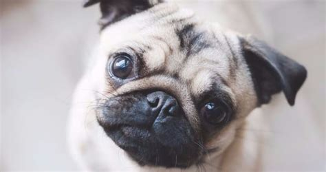 pugs for sale in kansas pug puppies for sale in kansas for pet