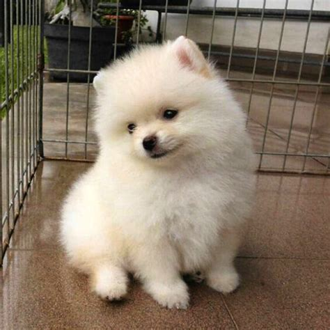 caring for pomeranian puppies bryce pomeranian puppy for sale crispypompuppies