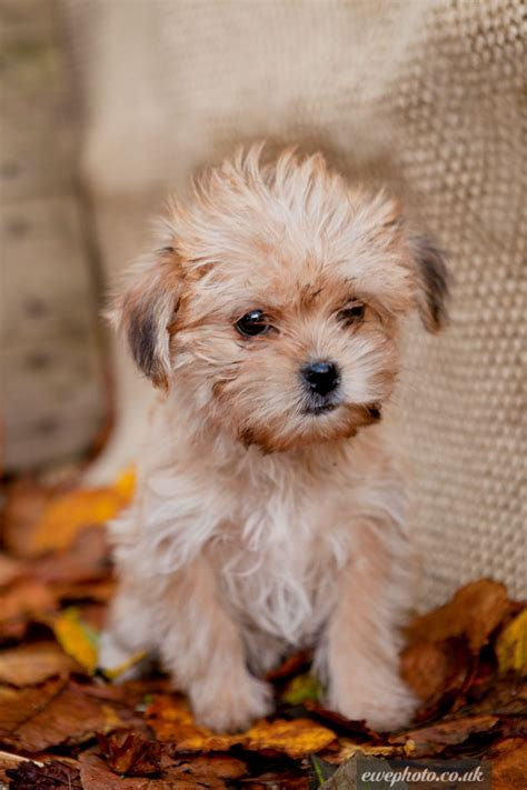 maltipoo puppies for sale in alabama maltipoo puppies for sale in alabama breeds picture