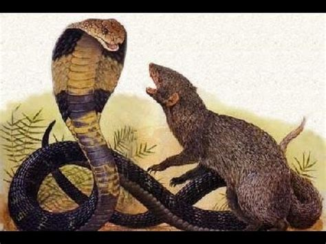 mongoose vs cobra snake mongoose vs cobra snake animal attack fight video
