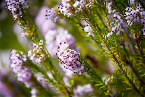 Sommerheide Pflege by Besenheide Sommerheide Calluna Vulgaris Pflanzen Und