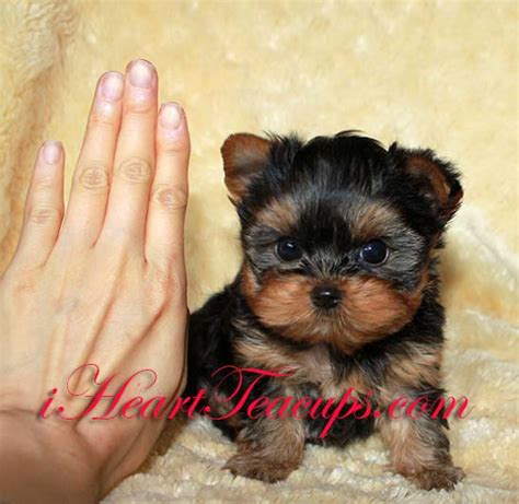 yorkie grown size teacup dogs grown