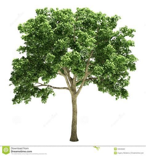 clipart albero albero di olmo isolato illustrazione di stock