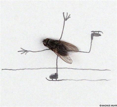 doodle fly humoristic doodles of flies by magnus muhr