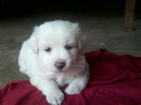 dog houses for sale in india indian spitz puppies for sale siddharth rai 1 9287 dogs for sale price of