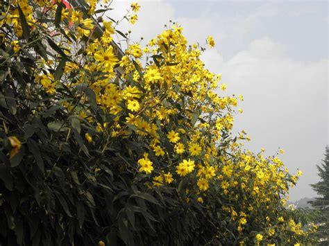fiori topinambur fiore di topinambur fare di una mosca