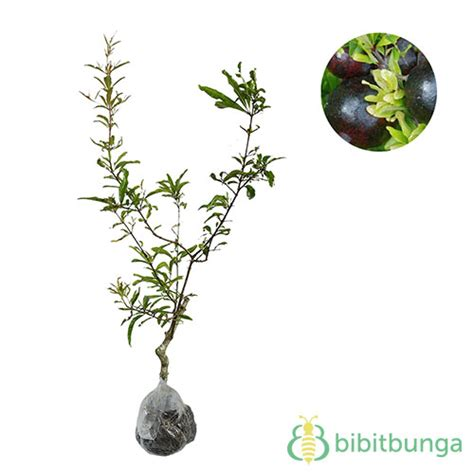 Tanaman Buah Delima Hitam tanaman delima hitam black pomegranate