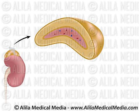 adrenal gland diagram alila media the adrenal gland unlabeled