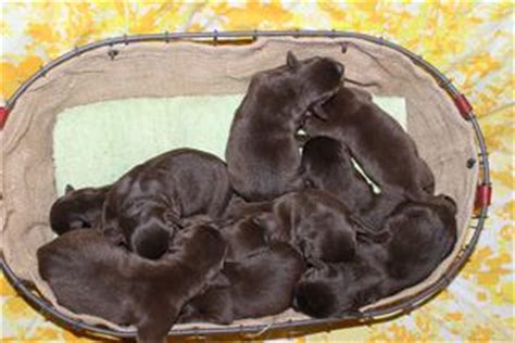 lab puppies for sale in va lab puppies for sale in va to chocolate lab puppies breeds picture