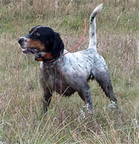 bird dogs for sale northwoods bird dogs setter pointer puppies for sale