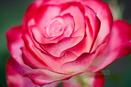 flower blooming animated rose flowers new calendar template site