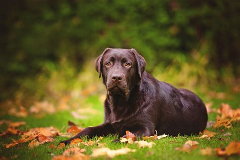 chocolate lab puppies information breeds pet care facts