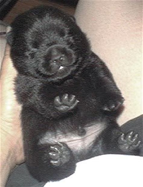 schipperke puppies schipperke puppy looks like a cub cuties