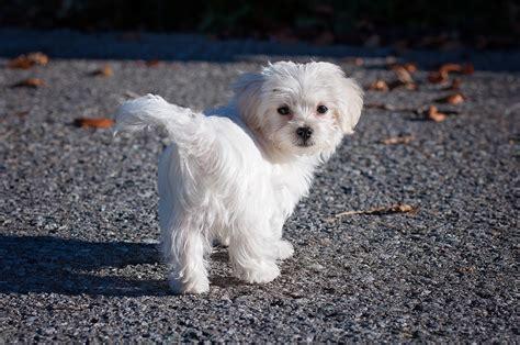 alimentazione maltese cucciolo maltese nano tutte le caratteristiche dogalize