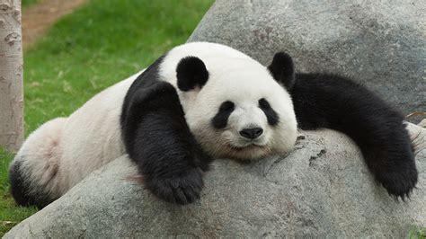 Black Panda by Black And White Panda Colors Photo 34704800 Fanpop
