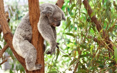 green koala wallpaper sleeping koala 893980 walldevil