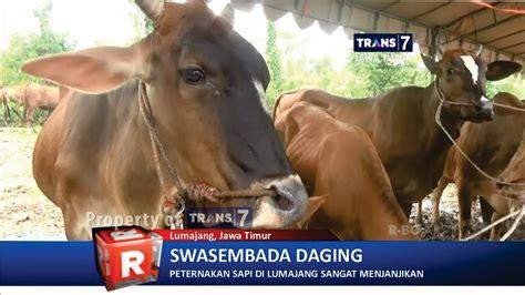 Bibit Sapi Di Jatim trans7 jatim sukses program puluhan ribu anak sapi