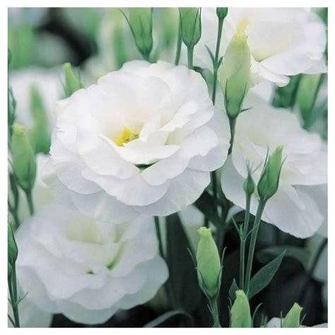 lisianthus fiore lisianthus bianco perenni coltivare il lisianthus bianco