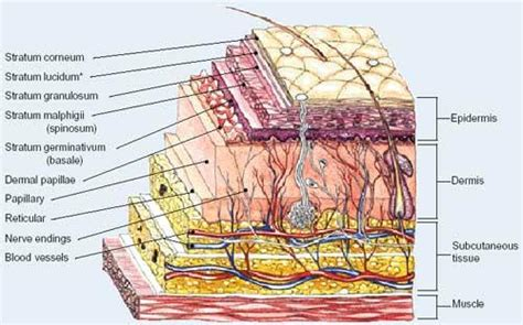skin layers diagram the site also lists the various causes of burns here