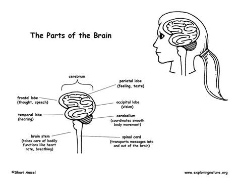 brain coloring page pdf parts of the brain diagram and coloring page