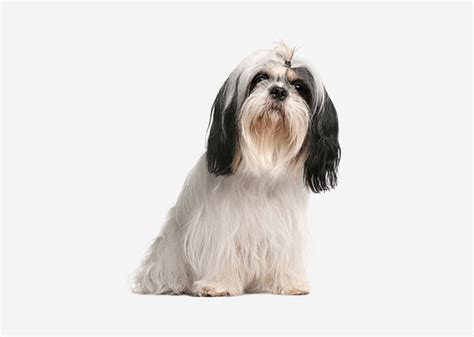 what is the lifespan of a shih tzu what is the span of a shih tzu pets auto design
