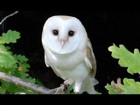 barn owl cara melatih burung hantu anak burung hantu yang menggemaskan doovi