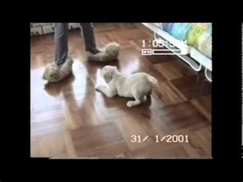 golden retriever bites statistics golden retriever puppy attacks slippers