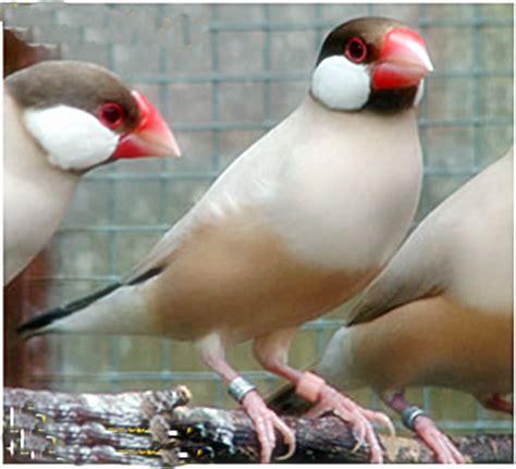 Pakan Branjangan Liar budidaya burung gelatik ocehan kenari