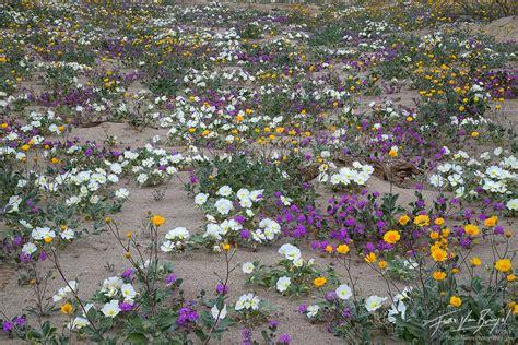 flowers anza borrego desert bouquet anza borrego sp ca art in nature