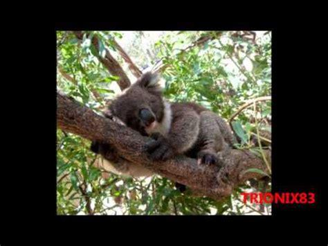 imagenes realistas de animales imagenes tiernas de koalas animales en peligro de